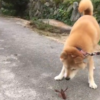 わがやの愛犬くん(柴犬)とザリガニくんの対決
